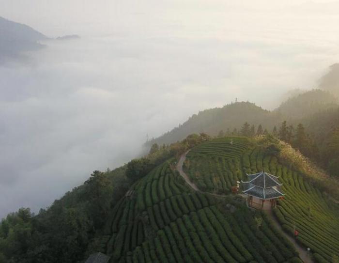 柳州三江:茶园薄雾飘荡 静待游客到来(组图)
