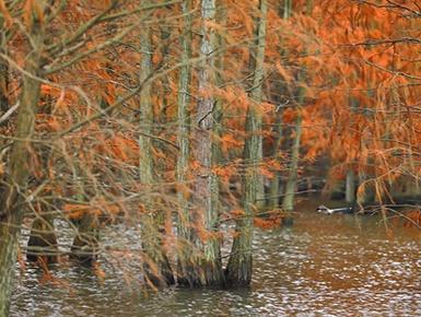 池杉绘就美丽画卷