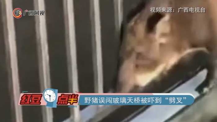 """野猪误闯玻璃天桥被吓到""""劈叉"""""""