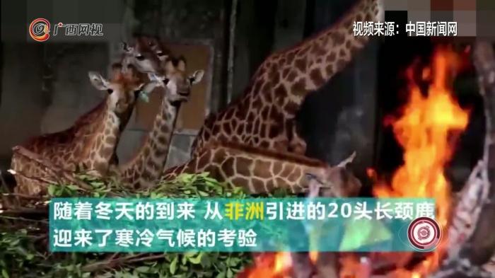 天太冷!重庆的非洲长颈鹿们烤上了火盆