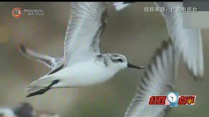 """又逢""""稀客"""" !世界珍稀鸟种勺嘴鹬连续5年逗留北海"""