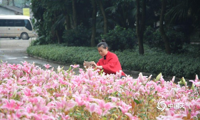高清组图:柳州市都乐公园百合花齐开美如画