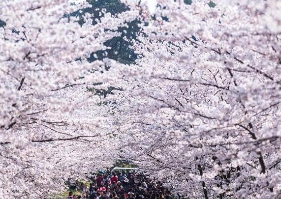 樱花烂漫引客来
