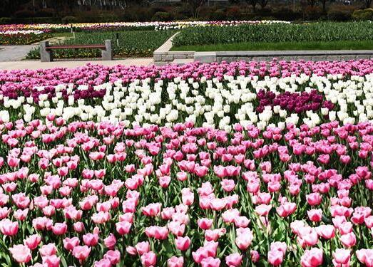 春日观赏郁金香