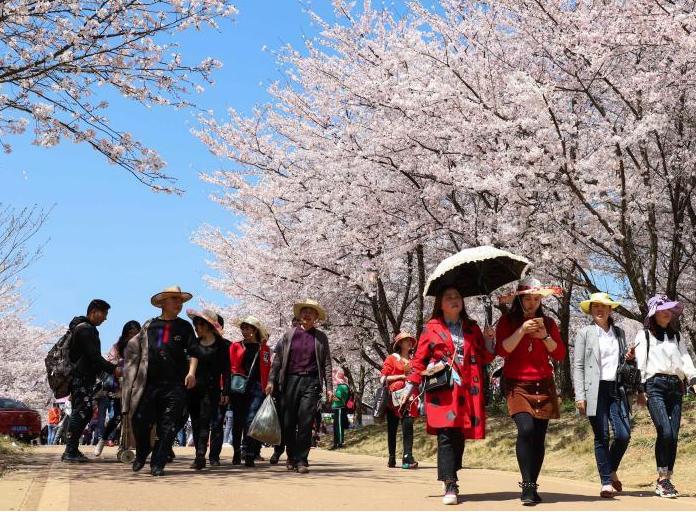 贵州贵安新区樱花绽放