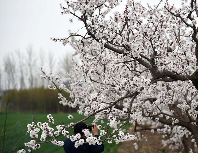 山东:麦绿杏白春意浓