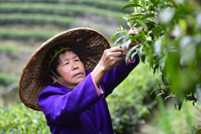 高清:春分时节龙胜茶农忙采春茶供应市场
