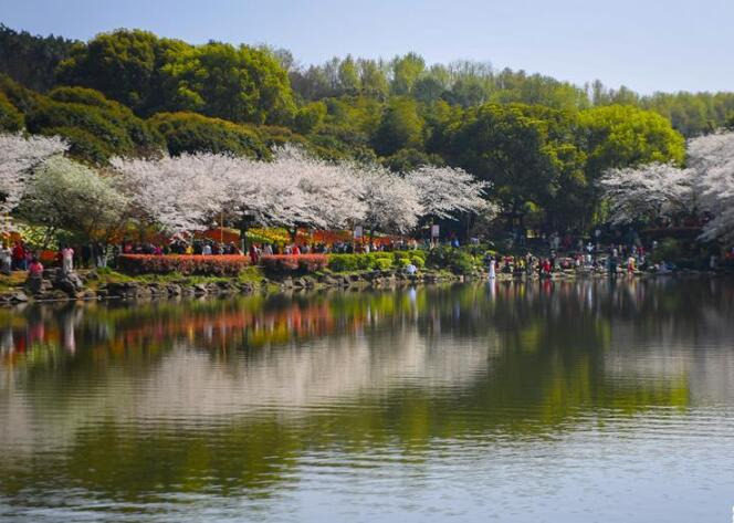 春日櫻滿園