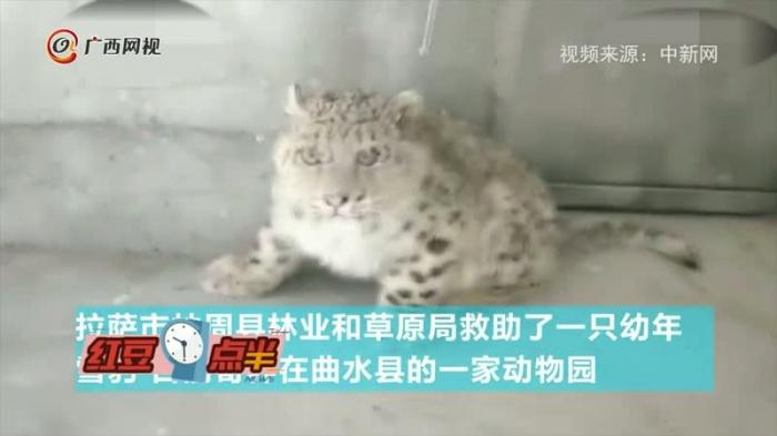 超萌��这只雪豹也太可爱了
