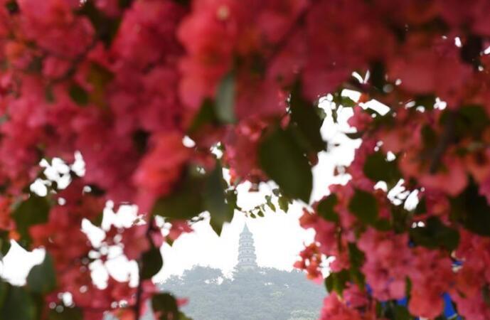 廣西南寧:花艷滿城春更濃
