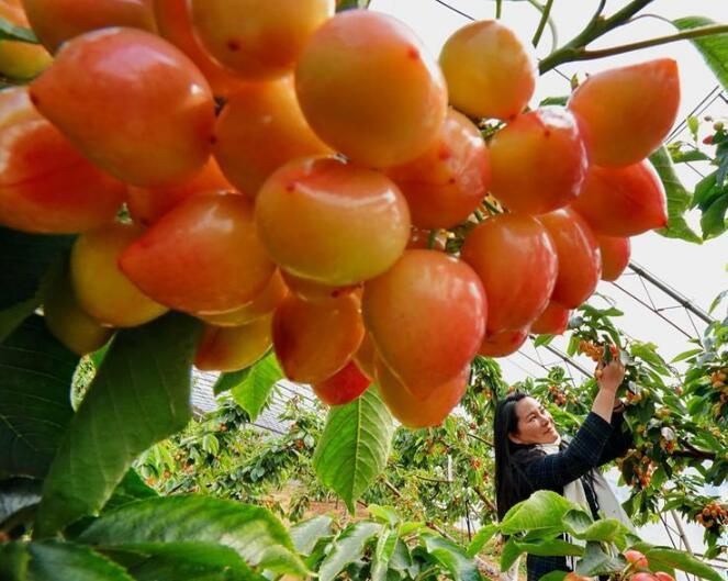 秦皇島:櫻桃種植促增收