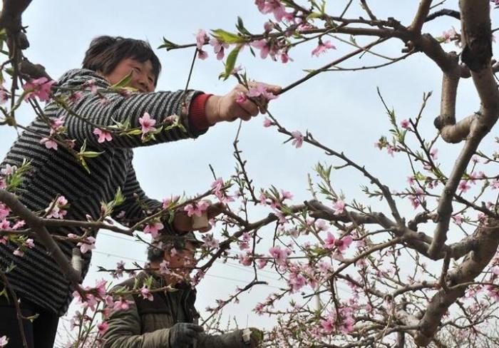 桃花朵朵开 农民授粉忙