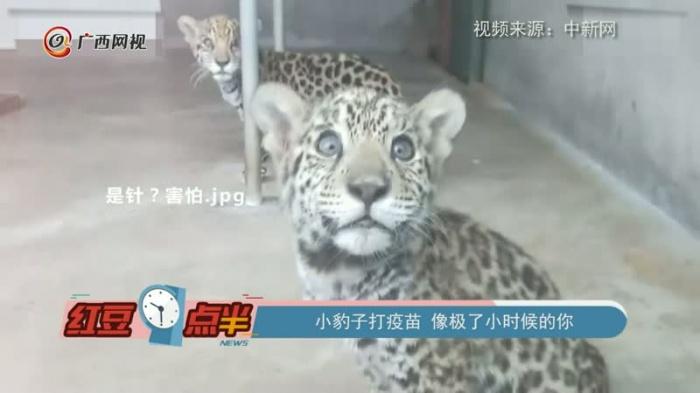 小豹子打疫苗 像极了小时候的你