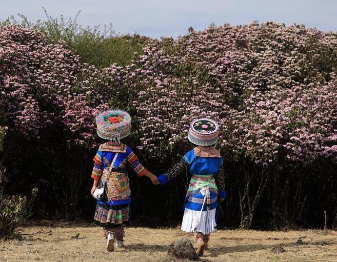 四川盐边县�十余万亩野生杜鹃花盛开