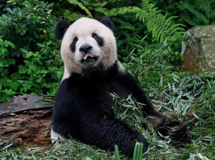 赠台大熊猫 迎客两千余万