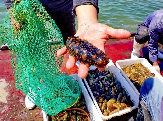 河北唐山:海产养殖促增收