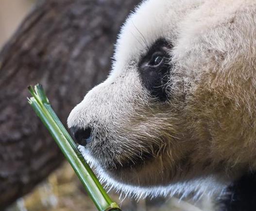 """大熊猫""""园园""""亮相维也纳"""