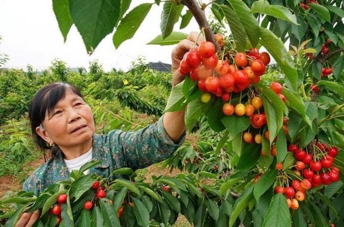 山海关:樱桃红 果农乐