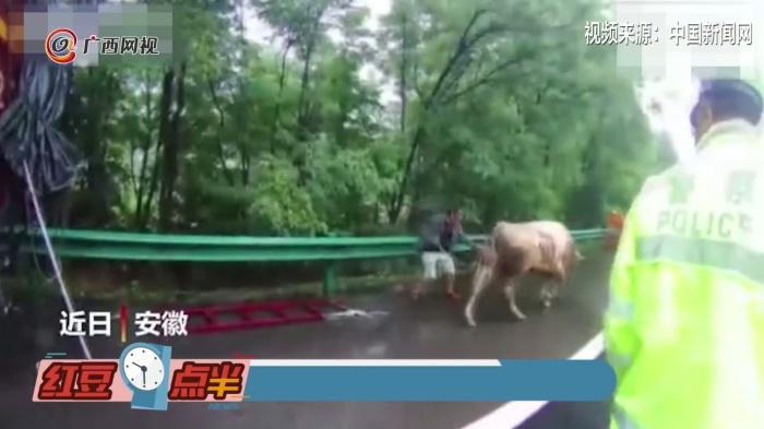 """牛在高速路上""""越狱"""""""