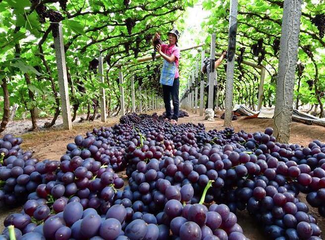 河北唐山:葡萄采摘忙