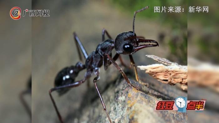 """螞蟻也能當寵物?青島海關查獲澳洲""""巨無霸""""寵物螞蟻"""