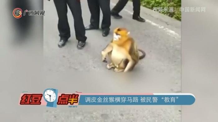 """調皮金絲猴橫穿馬路 被民警""""教育"""""""