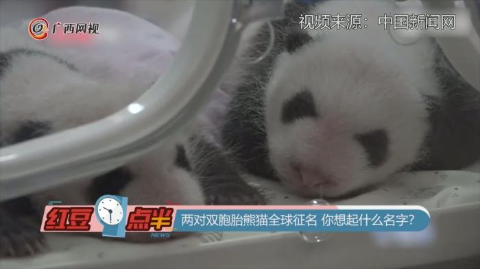 兩對雙胞胎熊貓全球征名 你想起什么?