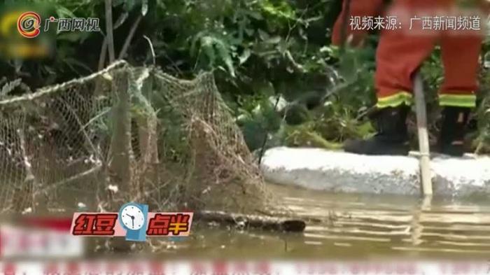 蟒蛇被困养鸭场 半月吃掉几百只鸭