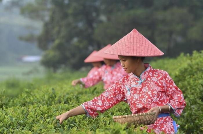 广西兴业:种植茶叶助增收