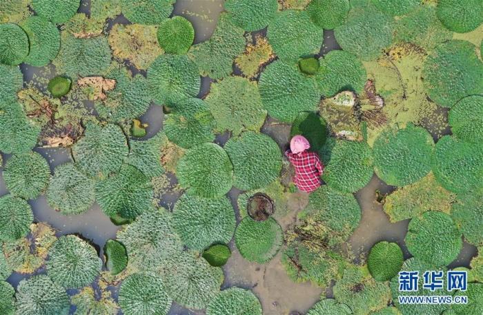 广西融安:种植芡实助脱贫