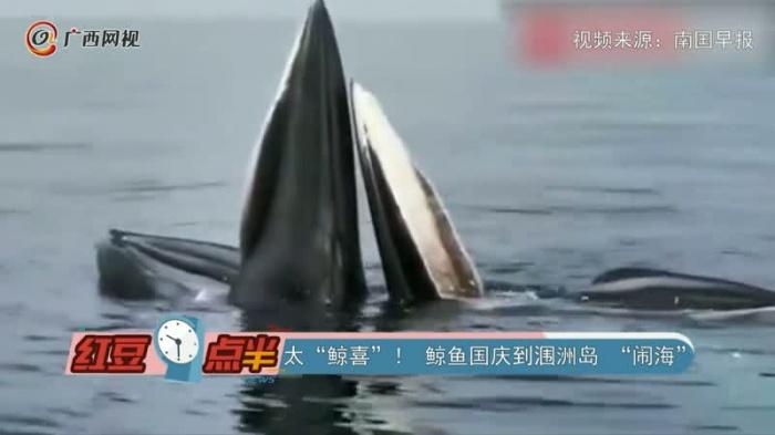 """鲸鱼国庆到涠洲岛 """"闹海"""""""