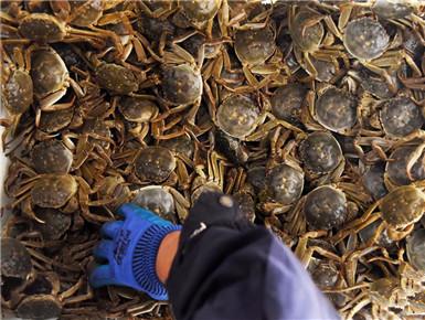 黄河口丰收大闸蟹