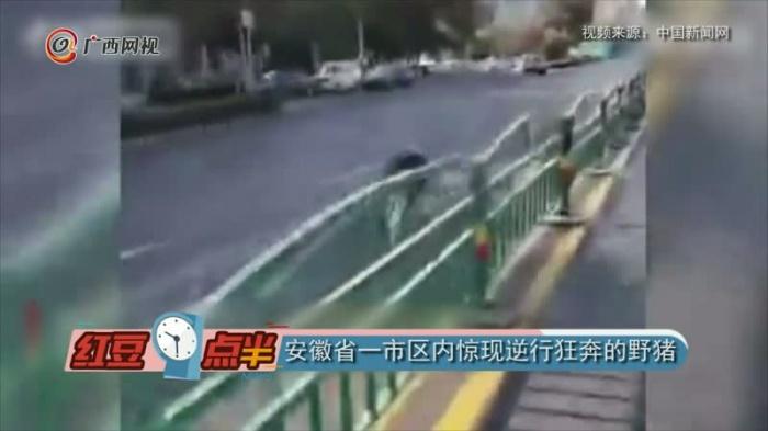 安徽省一市区内惊现逆行狂奔的野猪