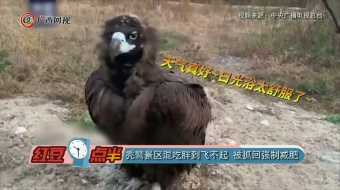 秃鹫景区混吃胖到飞不起被抓回强制减肥