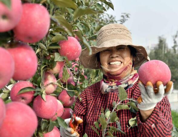 山东威海:矮砧苹果喜获丰收