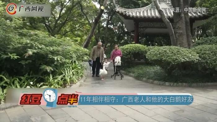11年相伴相守:广西老人和他的大白鹅好友