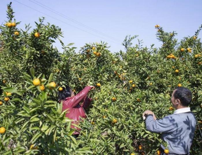 江西新干:产业扶贫助增收