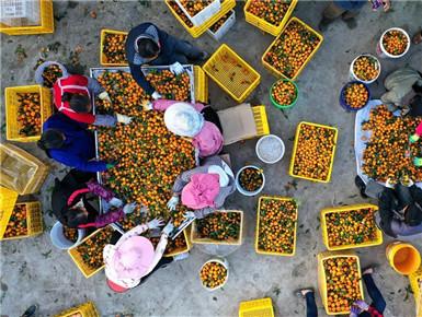 廣西鹿寨:做大做強產業 提高脫貧質量