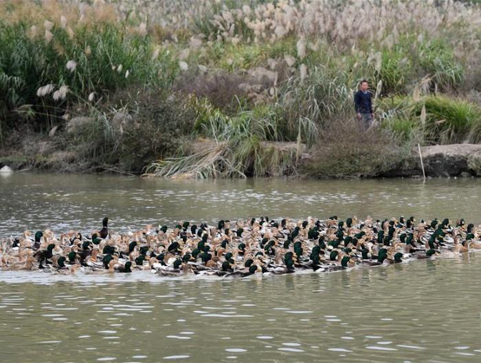 Pinchehui环江:养殖香鸭助增收