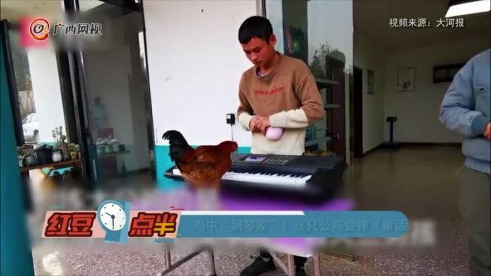 這只公雞會彈《童話》