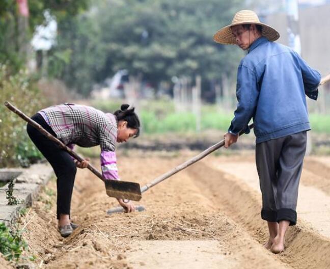 广西合浦农民抢收忙冬种