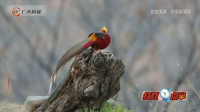被赞为火凤凰的红腹锦鸡 你见过吗?