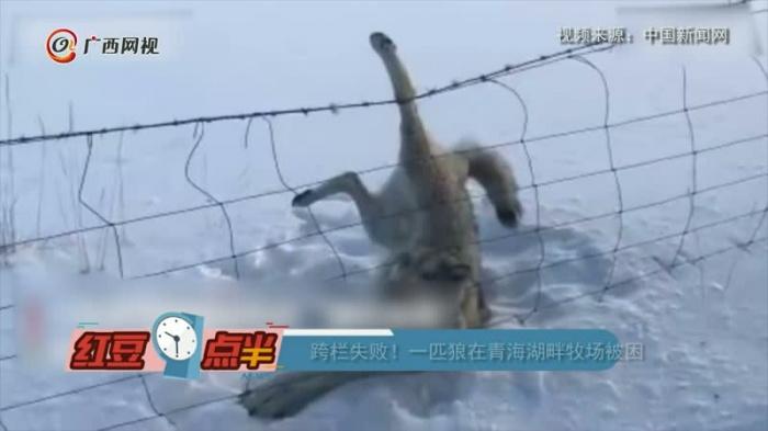 一匹狼在青海湖畔牧場被困