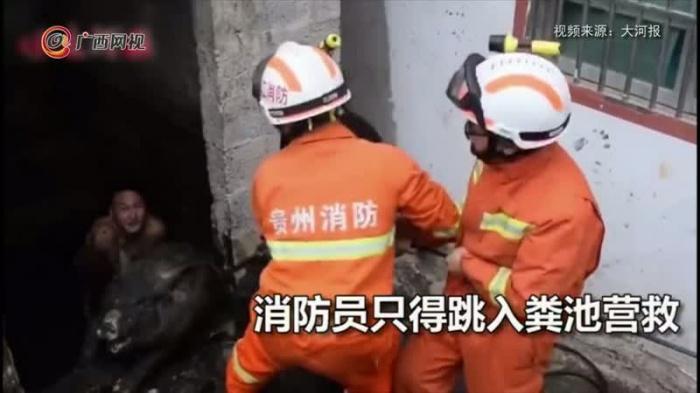 兩頭肥豬太重掉糞池 消防員跳糞池營救