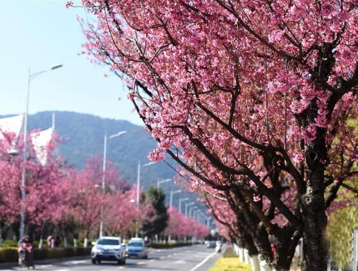 春城昆明:冬樱烂漫