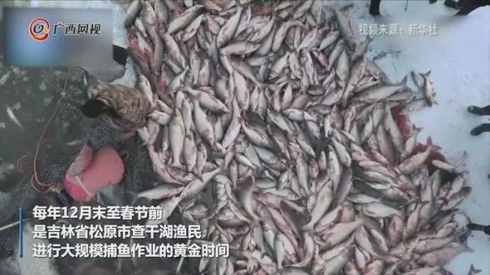 查干湖冬捕数十万斤鲜鱼跃然冰上