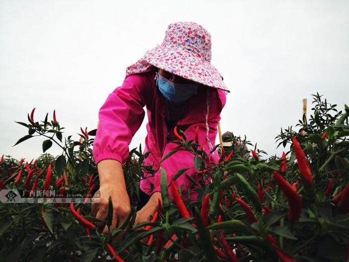梧州平浪村:防疫生产两手抓