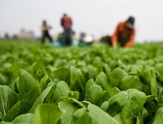 广西钦州:蔬菜基地复工