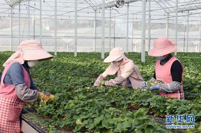 寻甸:草莓育苗基地复工生产