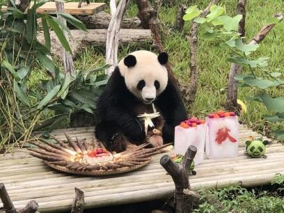 """動物園的大熊貓也吃上了""""月餅"""" 一大波萌圖來襲啦"""